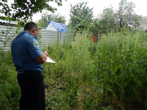 Мариуполец все лето растил плантацию конопли, а «урожай» собрала милиция (ФОТО), фото-2