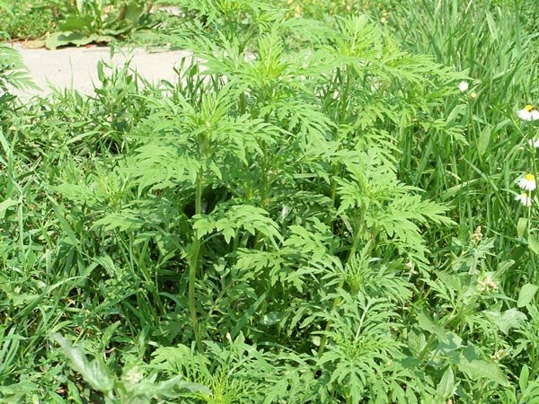 В Одесской области объявлен карантин – в регионе обнаружен опасный сорняк, фото-1