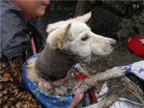Ужасающее зверство: под Одессой обнаружили щенка с консервной банкой, вросшей в шею (Фото), фото-1