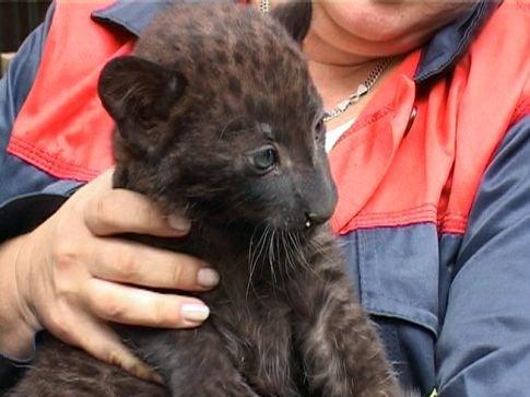В одесском зоопарке продали леопарда, которого лично назвал Костусев, фото-1