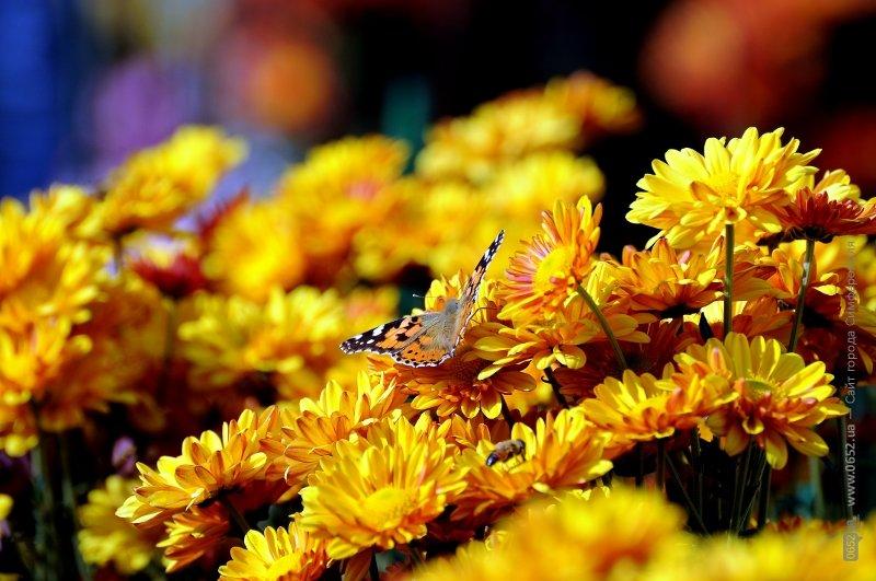 хризантемы 045