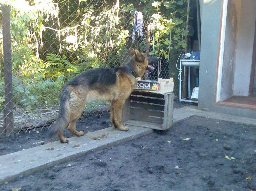 В Одессе хозяева устроили концлагерь немецкой овчарке: собака превратилась в скелет (Фото), фото-1
