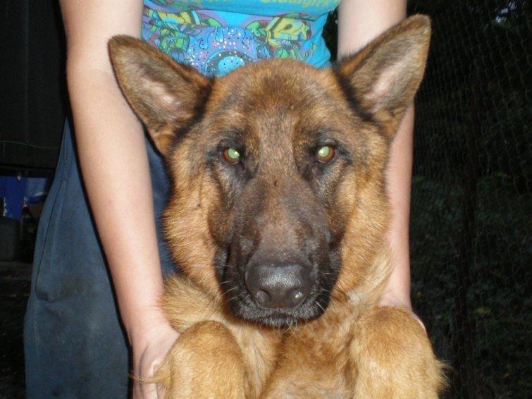 В Одессе хозяева устроили концлагерь немецкой овчарке: собака превратилась в скелет (Фото), фото-2