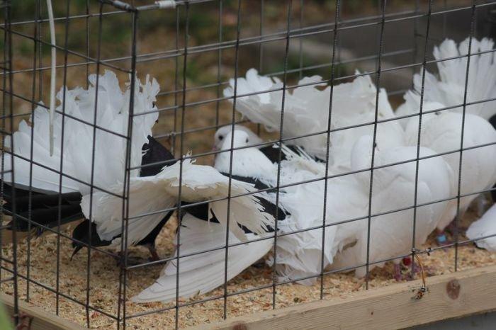 В Мариуполе голубеводы из Украины и России показали необычные породы птиц (ФОТО), фото-3
