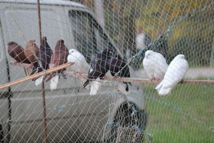 В Мариуполе голубеводы из Украины и России показали необычные породы птиц (ФОТО), фото-2