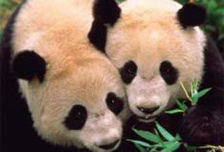 Панды презирают основной инстинкт, фото-1