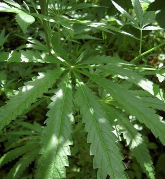 Букет с марихуаной, фото-1
