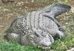 Крокодил, пропавший недавно в районе водной станции «Маркохим», до сих пор НЕ найден. (фото), фото-1