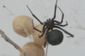 Мариуполь атакуют ядовитые пауки, фото-1