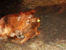 В Каменске корова провалилась в люк по самые рога, фото-1