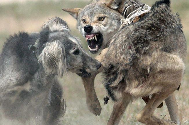 Новоазовским охотникам не удалось настигнуть волков, напавших на овец, фото-1