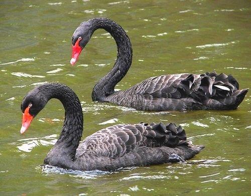 Черные лебеди