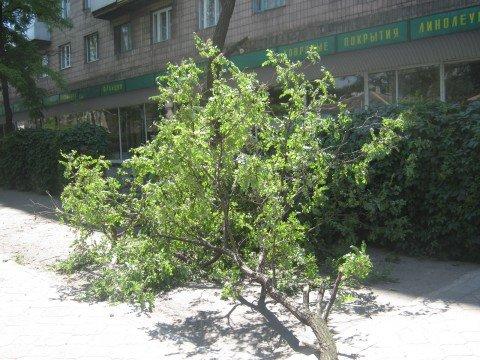 Дерево принесли в жертву  рекламной деятельности магазина «Палас»? (ФОТО), фото-1