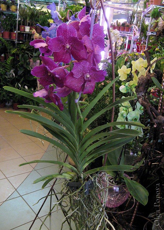Orhids2012121502