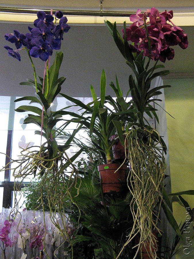 Orhids2012121504