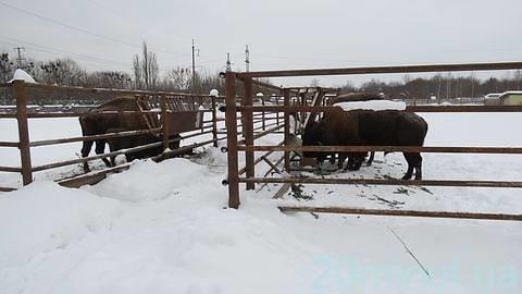 бизоны и зубры