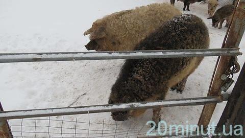 кучерявые свинки