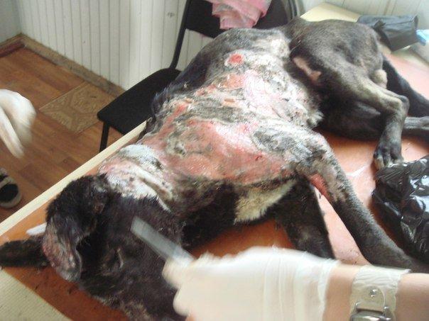В Керчи ветеринары спасают дворнягу, над которой поиздевались живодеры (жуткие ФОТО), фото-1