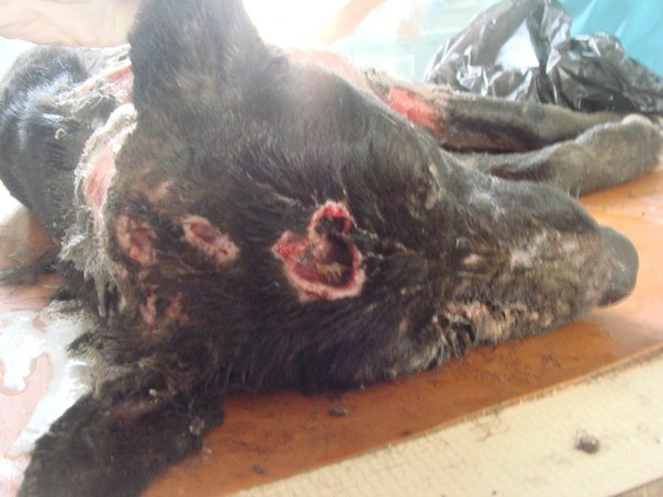 В Керчи ветеринары спасают дворнягу, над которой поиздевались живодеры (жуткие ФОТО), фото-2