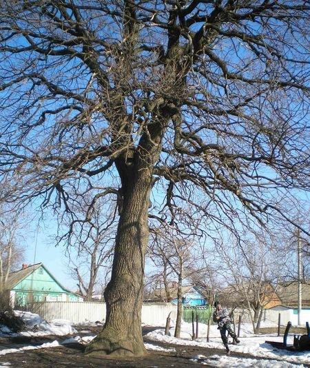 В Донецкой области объявлен памятником природы 300-летний дуб, фото-2