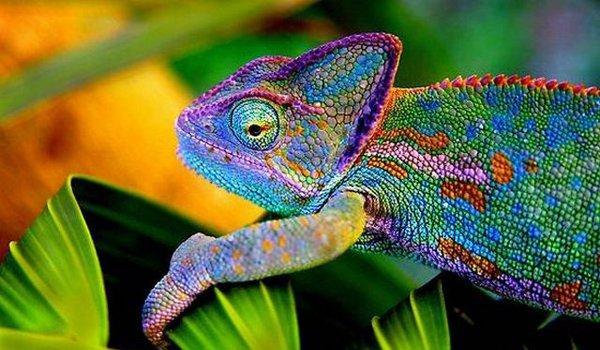 Chameleon_001