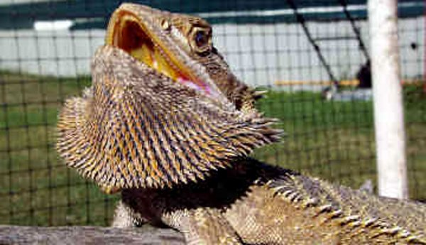 bearded-dragon-0037