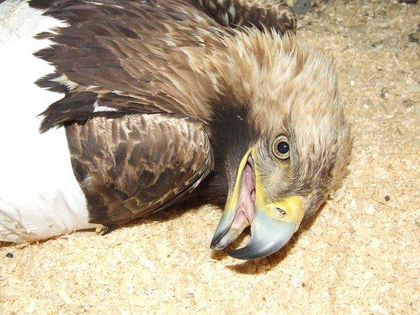 В  Международный День птиц подстрелили солнечного орла в Ульяновской области, фото-1