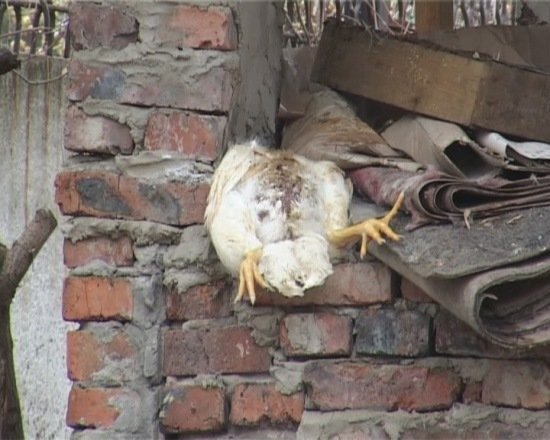 В Луганске накрыли птицефабрику, где выращивали кур в грязи (ФОТО), фото-1
