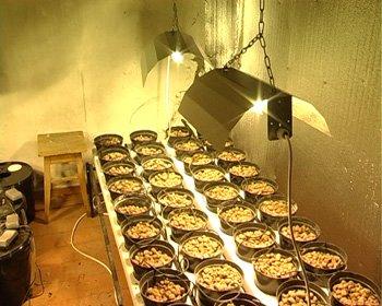 В Донецкой области продвинутый наркоаграрий научился в своей «оранжерее» выращивать коноплю без почвы (фото), фото-2