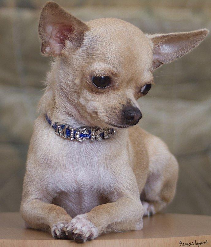 Одессит подарит iPhone тому, кто найдет его собаку (Фото) (фото) - фото 2