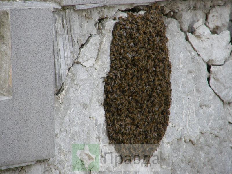 бджоли7