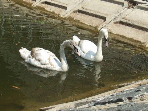 лебединое озеро3