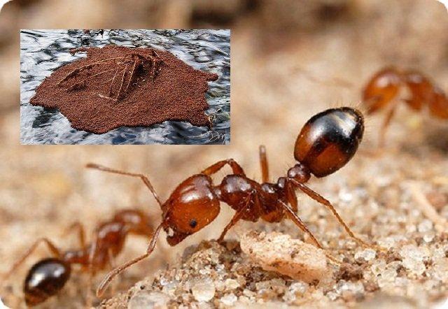 А это - южноамериканские огненные муравьи