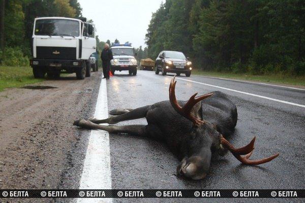 20130916_гродно_трасса М6_сбили лося