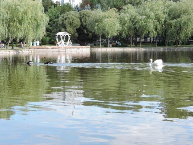 лебеди2