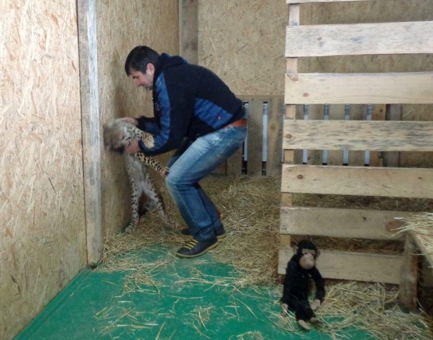В бердянском зоопарке «Сафари» появился первый легальный гепард на Украине (ФОТО), фото-3