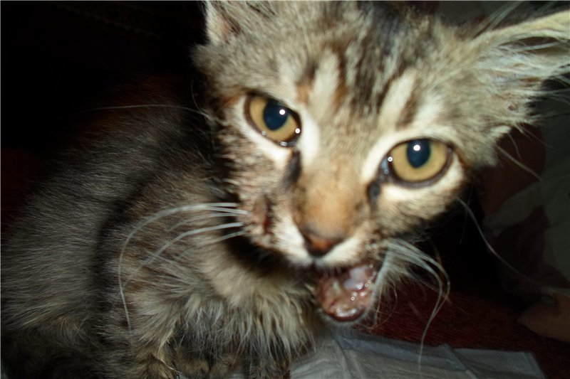 Мариупольские зоозащитники превратили котенка со сломанной челюстью в необыкновенно красивую кошку (ФОТО), фото-1
