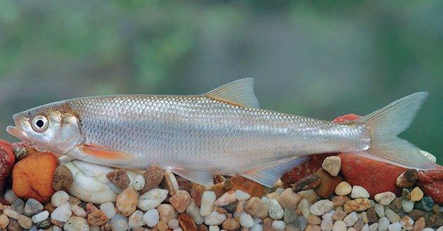 Мариупольские браконьеры вытащили из Азовского моря краснокнижную шемаю (ФОТО), фото-1