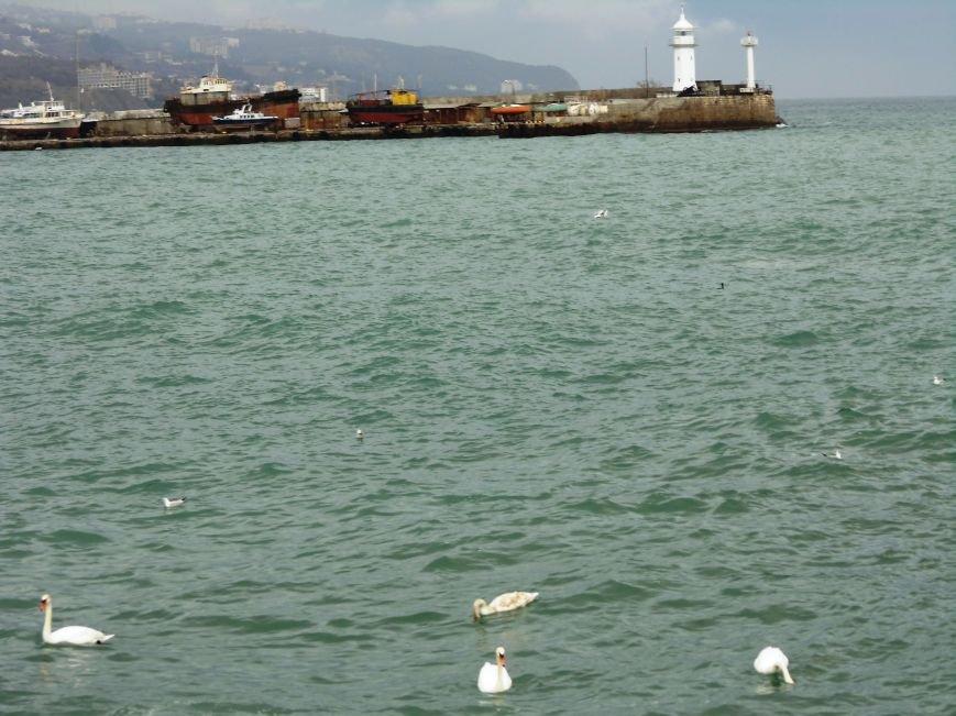 Зимующие в Крыму птицы не пострадали от морозов, а ялтинцы уже который день могут полюбоваться на лебедей, фото-1