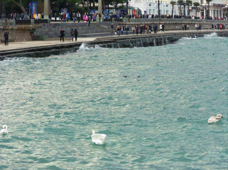 Зимующие в Крыму птицы не пострадали от морозов, а ялтинцы уже который день могут полюбоваться на лебедей, фото-2