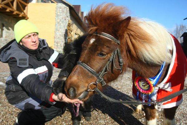 Фоторепортаж: «Гарадзенскi маёнтак Каробчыцы» готовит пони к участию в… конкурсе красоты (фото) - фото 1