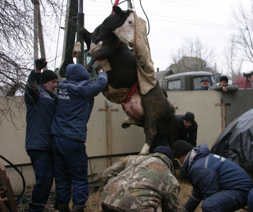 На Полтавщине спасатели вытащили корову из ямы (ВИДЕО), фото-3
