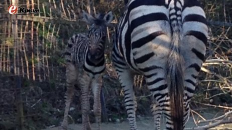 В Ялте в зоопарке «Сказка» впервые родилась зебра, фото-1
