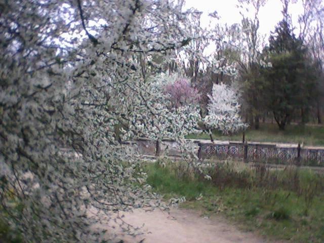 Дни любования цветущими кустарниками и деревьями объявили в Симферополе (ФОТО), фото-1
