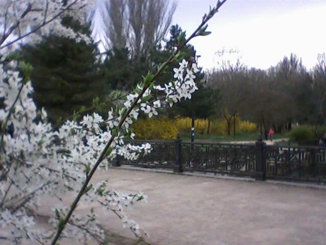 Дни любования цветущими кустарниками и деревьями объявили в Симферополе (ФОТО), фото-2