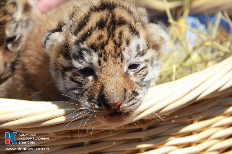 Родившегося в крымском сафари-парке тигренка назвали Референдумом (ФОТО), фото-2
