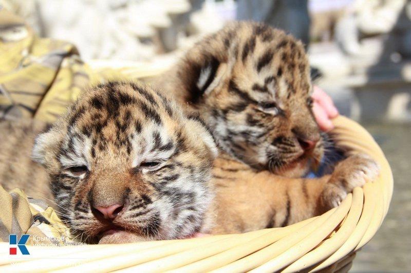 Родившегося в крымском сафари-парке тигренка назвали Референдумом (ФОТО), фото-3