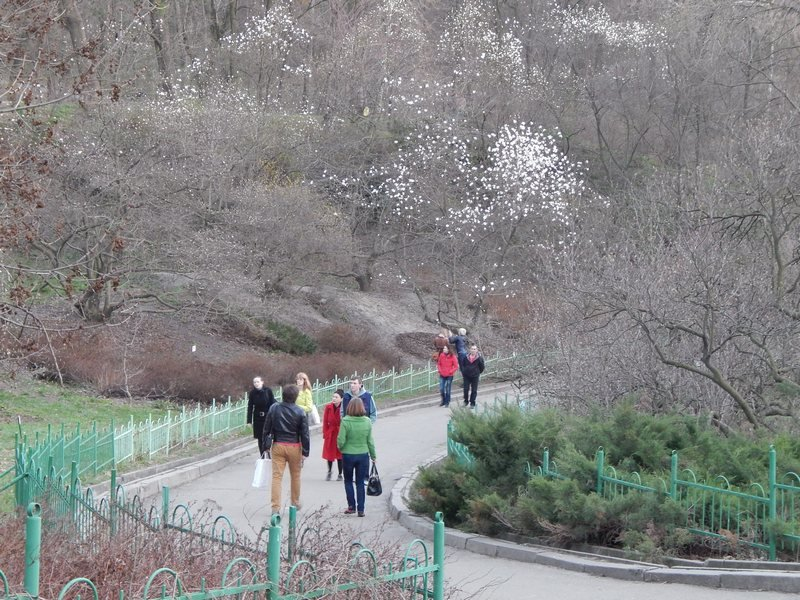У Києві розквітли магнолії (Фото), фото-1