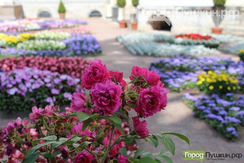 город Пушкин, город Павловск, Царское Село, благоустройство, цветы