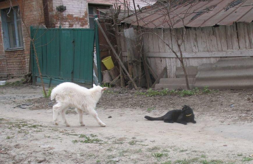 У самому центрі Полтави живе козеня (Фото), фото-5